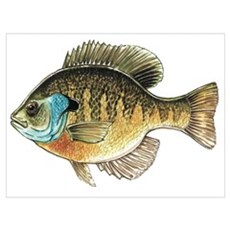Bluegill Bream Fishing Canvas Art