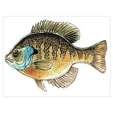Bluegill Bream Fishing Poster