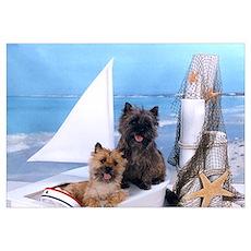 Cairn Terrier Poster