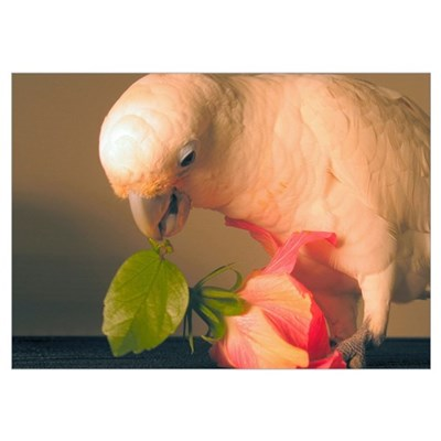 Cockatoo & Flower Poster