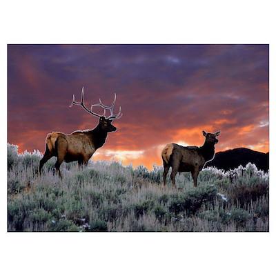 Elk at sunset Poster