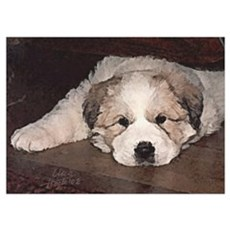 Great Pyr Puppy Face<br> Poster