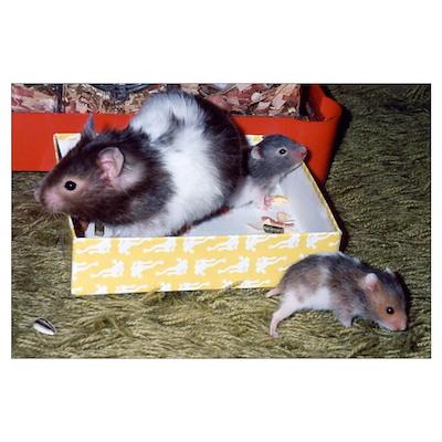 Hamster Family Poster