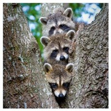 Baby Raccoon Trio Poster