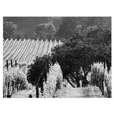 trees in vineyard black + white framed photograph Framed Print