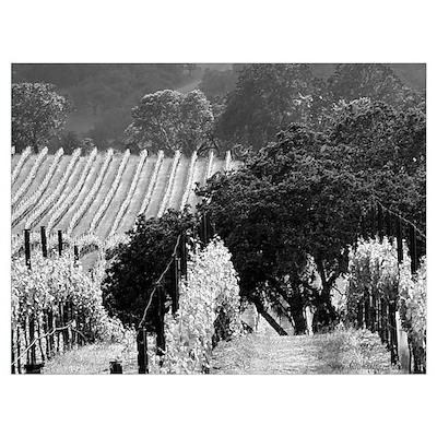 trees in vineyard black + white framed photograph Poster