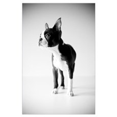 Lucy The Boston Terrier Poster