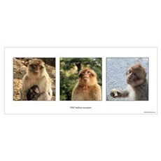 Wild Barbary Macaque Poster