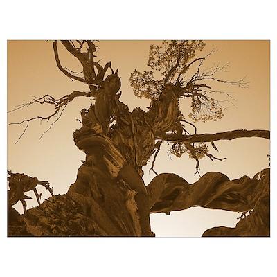 Jardine Juniper Tree Poster