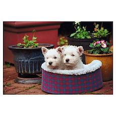 West Highland White Terrier Puppies Pr Poster