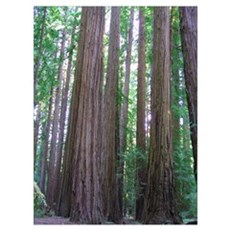 Ancient Redwoods Poster