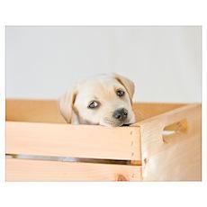 Labrador Puppy Dog Poster