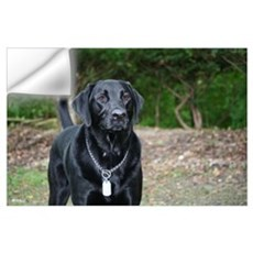 Gage - Black Labrador - Photo Wall Decal
