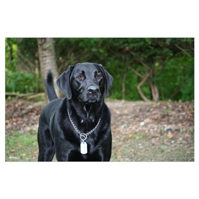 Gage - Black Labrador - Photo Poster