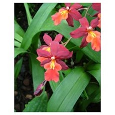 Flame Orchid Poster