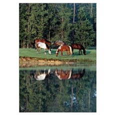 Horse Reflection Poster