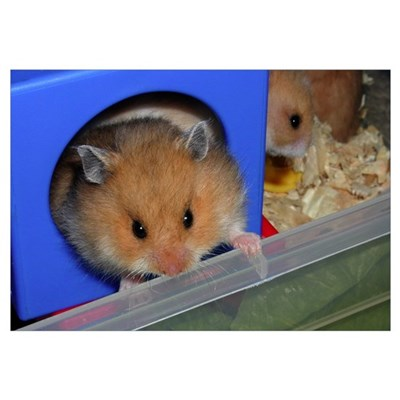 Baby Hamster #01 Canvas Art