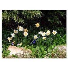 Dafodills and Pansies Poster