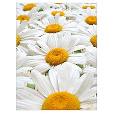 Daisy 01 Poster