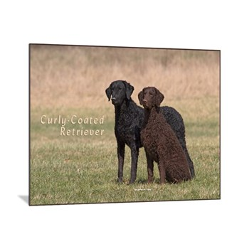 Curly Coated Retriever-5
