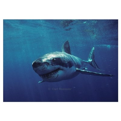 Great white shark bores in Poster