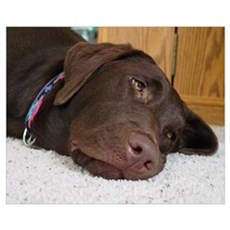 Chocolate Lab Thoughts Canvas Art