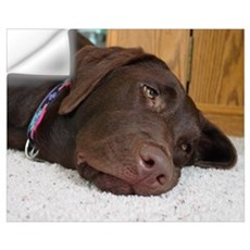 Chocolate Lab Thoughts Wall Decal