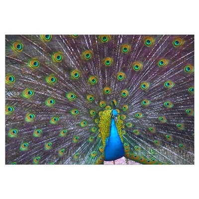 Peacock Full Color Canvas Art