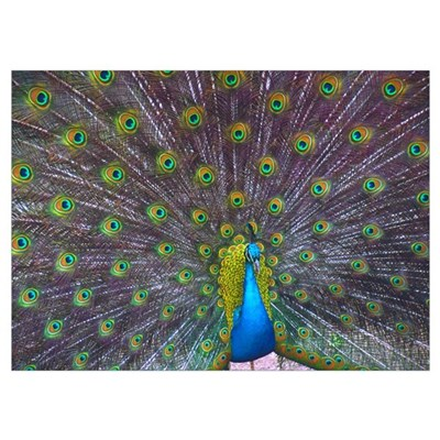 Peacock Full Color Poster