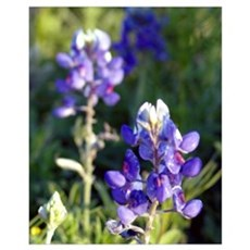 BlueBonnet Close Up Framed Print