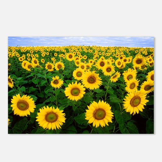 Sunflowers in field Postcards (Package of 8)