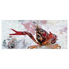 Crawfish 1 Poster