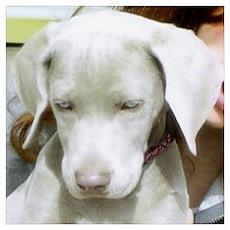 Dog - Weimaraner Poster