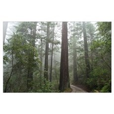Redwood Forest Fog Poster