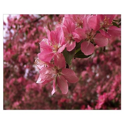 Red Bud Blooms Poster