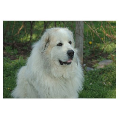 Great Pyrenees Canvas Art