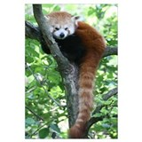 Red panda Wrapped Canvas Art