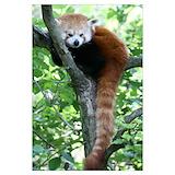 Red panda Posters