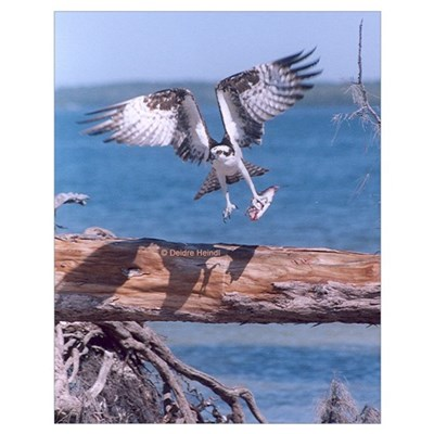 Osprey Parallel Wings Poster