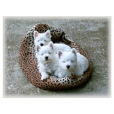 Irresistible Westie Pup Trio Poster