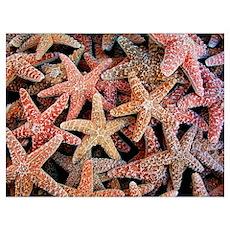 Helaine's Starfish Poster