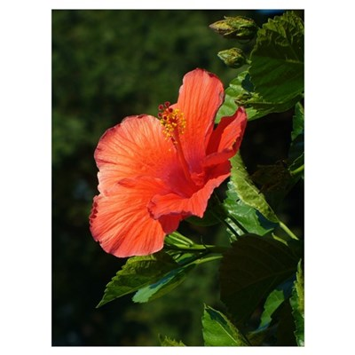 Hibiscus Flower Canvas Art