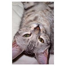 silver bengal kitten Poster