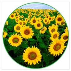 The USDA Field of Sunflowers Poster