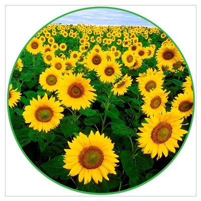 The USDA Field of Sunflowers Canvas Art