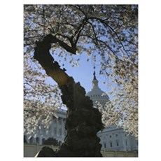Capitol Cherry Blossom Canvas Art