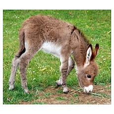 - Newborn Donkey Foal Poster