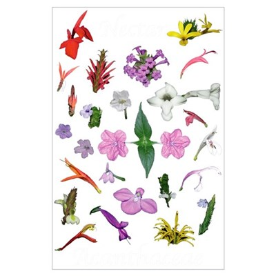 Acanthaceae Costa Rica Poster