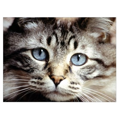 Tabby Kitty Face Poster