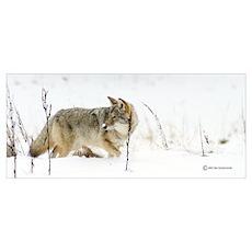 "Coyote ""Snowz"" 14x6 Poster"